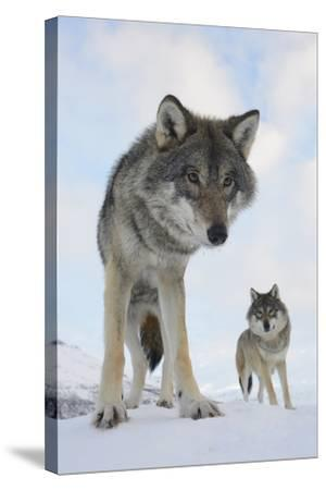 Wide Angle Close-Up Of Two European Grey Wolves (Canis Lupus), Captive, Norway, February-Edwin Giesbers-Stretched Canvas Print