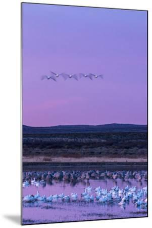 New Mexico, Bosque Del Apache National Wildlife Refuge. Snow Geese and Sandhill Cranes at Sunrise-Jaynes Gallery-Mounted Photographic Print