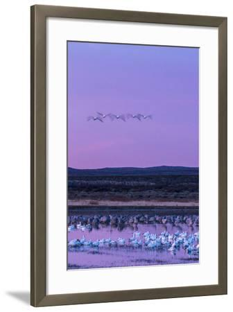 New Mexico, Bosque Del Apache National Wildlife Refuge. Snow Geese and Sandhill Cranes at Sunrise-Jaynes Gallery-Framed Photographic Print