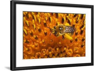 California. Bee Pollinating a Flower-Jaynes Gallery-Framed Photographic Print