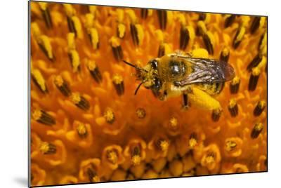 California. Bee Pollinating a Flower-Jaynes Gallery-Mounted Photographic Print