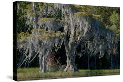 Florida, Pond Cyprus and Spanish Moss in Swamp-Judith Zimmerman-Stretched Canvas Print