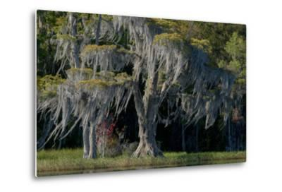 Florida, Pond Cyprus and Spanish Moss in Swamp-Judith Zimmerman-Metal Print