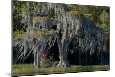 Florida, Pond Cyprus and Spanish Moss in Swamp-Judith Zimmerman-Mounted Photographic Print