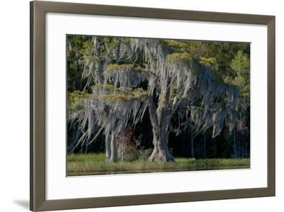 Florida, Pond Cyprus and Spanish Moss in Swamp-Judith Zimmerman-Framed Photographic Print