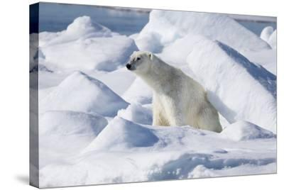Arctic, Norway, Svalbard, Spitsbergen, Pack Ice, Polar Bear Polar Bear Rubbing on Ice-Ellen Goff-Stretched Canvas Print