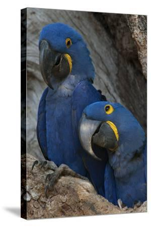 South America, Brazil, Pantanal Wetlands, Hyacinth Macaw Mated Pair on their Nest in a Tree-Judith Zimmerman-Stretched Canvas Print