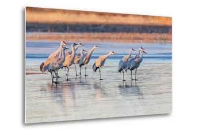 New Mexico, Bosque Del Apache Natural Wildlife Refuge. Sandhill Cranes on Ice at Sunrise-Jaynes Gallery-Metal Print