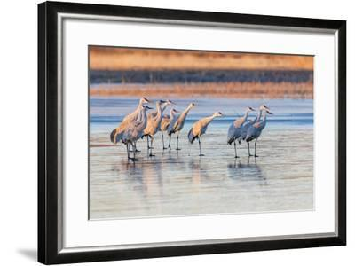 New Mexico, Bosque Del Apache Natural Wildlife Refuge. Sandhill Cranes on Ice at Sunrise-Jaynes Gallery-Framed Photographic Print