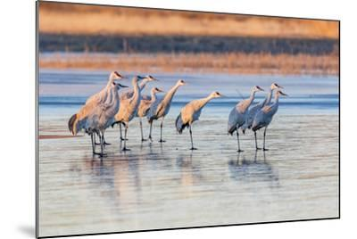 New Mexico, Bosque Del Apache Natural Wildlife Refuge. Sandhill Cranes on Ice at Sunrise-Jaynes Gallery-Mounted Photographic Print