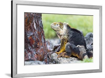 Ecuador, Galapagos Islands, Plaza Sur, Male Land Iguana-Ellen Goff-Framed Photographic Print