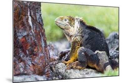 Ecuador, Galapagos Islands, Plaza Sur, Male Land Iguana-Ellen Goff-Mounted Photographic Print