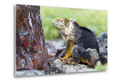 Ecuador, Galapagos Islands, Plaza Sur, Male Land Iguana-Ellen Goff-Metal Print