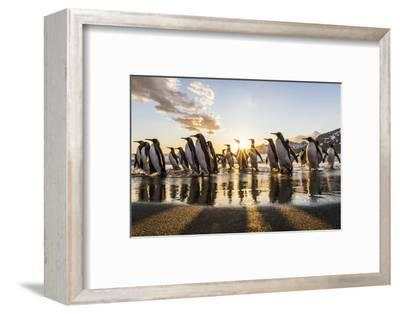 South Georgia Island, St. Andrew's Bay. King Penguins on Beach at Sunrise-Jaynes Gallery-Framed Photographic Print