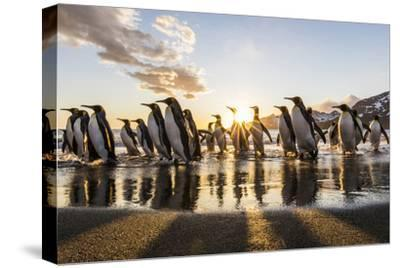 South Georgia Island, St. Andrew's Bay. King Penguins on Beach at Sunrise-Jaynes Gallery-Stretched Canvas Print