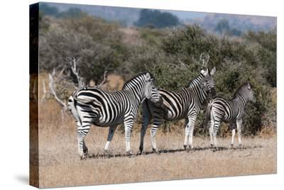 Zebra, Mashatu Game Reserve, Botswana-Sergio Pitamitz-Stretched Canvas Print