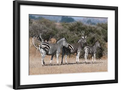 Zebra, Mashatu Game Reserve, Botswana-Sergio Pitamitz-Framed Photographic Print
