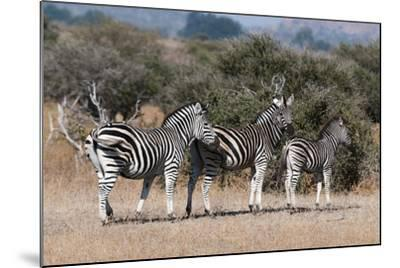 Zebra, Mashatu Game Reserve, Botswana-Sergio Pitamitz-Mounted Photographic Print