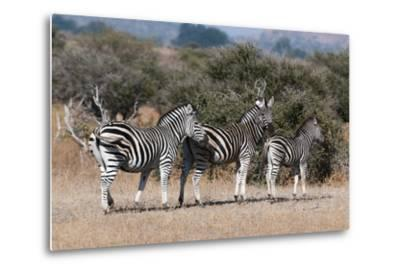 Zebra, Mashatu Game Reserve, Botswana-Sergio Pitamitz-Metal Print