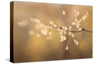 Maine, Harpswell. Bamboo Seeds Close-Up-Jaynes Gallery-Stretched Canvas Print