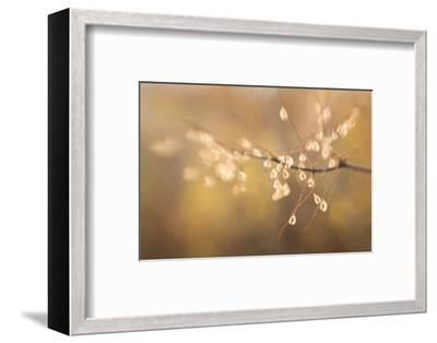 Maine, Harpswell. Bamboo Seeds Close-Up-Jaynes Gallery-Framed Photographic Print