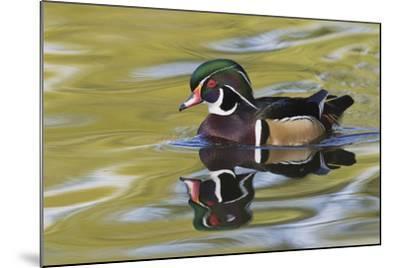 Wood Duck Drake-Ken Archer-Mounted Photographic Print