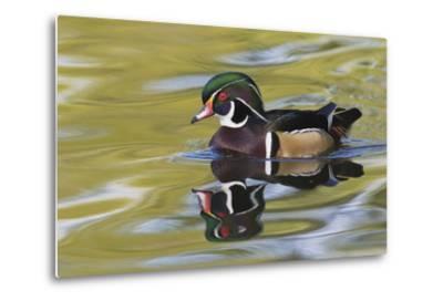 Wood Duck Drake-Ken Archer-Metal Print