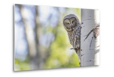 Wyoming, Grand Teton National Park, an Adult Great Gray Owl Stares from Behind an Aspen Tree-Elizabeth Boehm-Metal Print