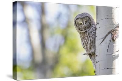 Wyoming, Grand Teton National Park, an Adult Great Gray Owl Stares from Behind an Aspen Tree-Elizabeth Boehm-Stretched Canvas Print