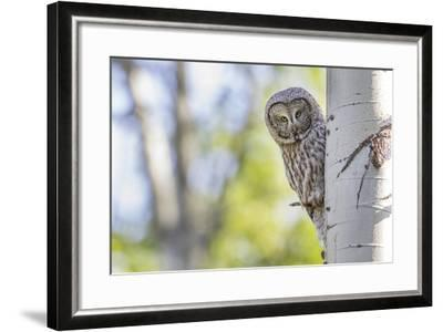 Wyoming, Grand Teton National Park, an Adult Great Gray Owl Stares from Behind an Aspen Tree-Elizabeth Boehm-Framed Photographic Print