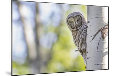 Wyoming, Grand Teton National Park, an Adult Great Gray Owl Stares from Behind an Aspen Tree-Elizabeth Boehm-Mounted Photographic Print
