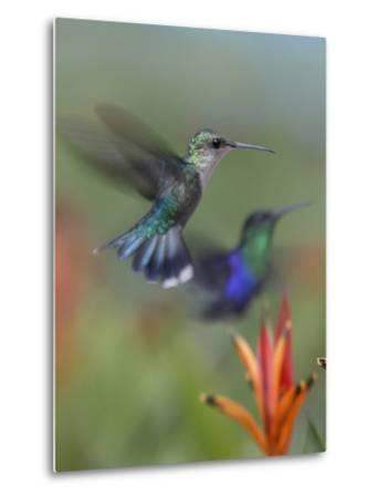 Crowned Woodnymph Hummingbirds Female and Male-Tim Fitzharris-Metal Print