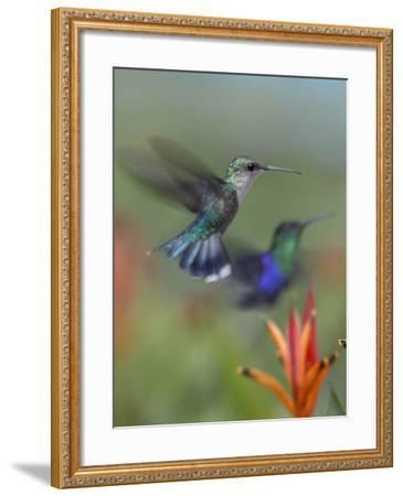 Crowned Woodnymph Hummingbirds Female and Male-Tim Fitzharris-Framed Photographic Print