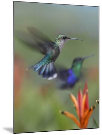 Crowned Woodnymph Hummingbirds Female and Male-Tim Fitzharris-Mounted Photographic Print