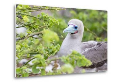 Ecuador, Galapagos Islands, Genovesa, Darwin Bay Beach, Red-Footed Booby Perching in Foliage-Ellen Goff-Metal Print