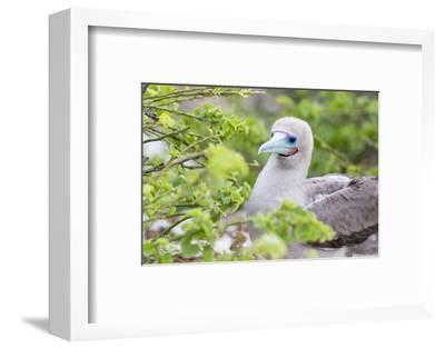 Ecuador, Galapagos Islands, Genovesa, Darwin Bay Beach, Red-Footed Booby Perching in Foliage-Ellen Goff-Framed Photographic Print