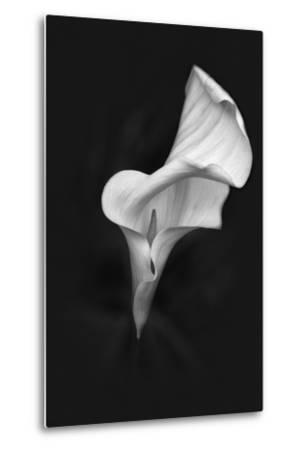 Europe, Ireland, Dublin. Calla Lily Black and White-Jaynes Gallery-Metal Print