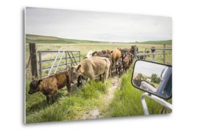 Washington State, Palouse, Whitman County. Pioneer Stock Farm, Cows at Pasture Gate-Alison Jones-Metal Print