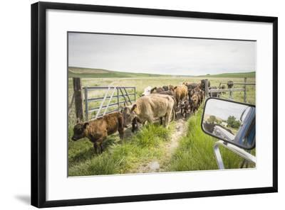 Washington State, Palouse, Whitman County. Pioneer Stock Farm, Cows at Pasture Gate-Alison Jones-Framed Photographic Print