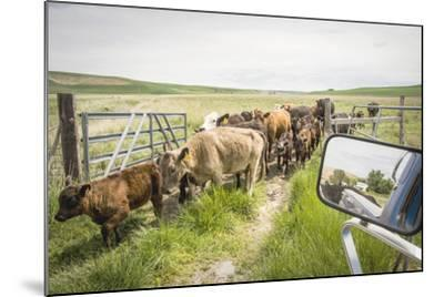 Washington State, Palouse, Whitman County. Pioneer Stock Farm, Cows at Pasture Gate-Alison Jones-Mounted Photographic Print