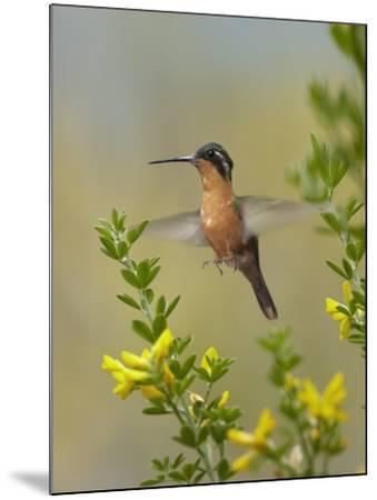 Female Gray-Tailed Mountain-Gem Hummingbird About to Land, Costa Rica-Tim Fitzharris-Mounted Photographic Print