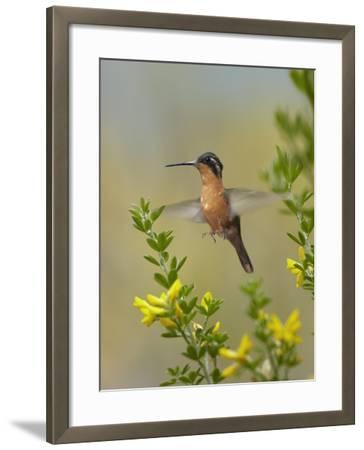 Female Gray-Tailed Mountain-Gem Hummingbird About to Land, Costa Rica-Tim Fitzharris-Framed Photographic Print
