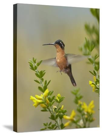 Female Gray-Tailed Mountain-Gem Hummingbird About to Land, Costa Rica-Tim Fitzharris-Stretched Canvas Print