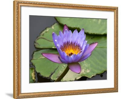Blue Yellow Water Lily Flowers and Pads, Close-Up, Macro-William Perry-Framed Photographic Print