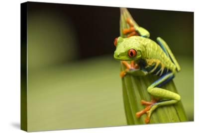 Costa Rica. Red-Eyed Tree Frog Close-Up-Jaynes Gallery-Stretched Canvas Print
