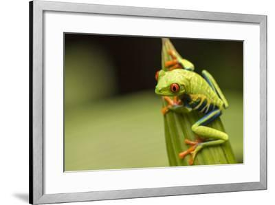 Costa Rica. Red-Eyed Tree Frog Close-Up-Jaynes Gallery-Framed Photographic Print