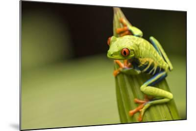 Costa Rica. Red-Eyed Tree Frog Close-Up-Jaynes Gallery-Mounted Photographic Print