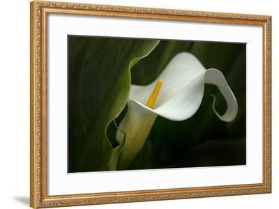 Pennsylvania. Calla Lily Close-Up-Jaynes Gallery-Framed Photographic Print