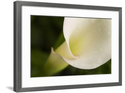 Maine, Harpswell. White Calla Lily Close-Up-Jaynes Gallery-Framed Photographic Print