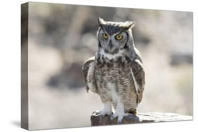 Arizona, Buckeye. Great Horned Owl Perched on House-Jaynes Gallery-Stretched Canvas Print